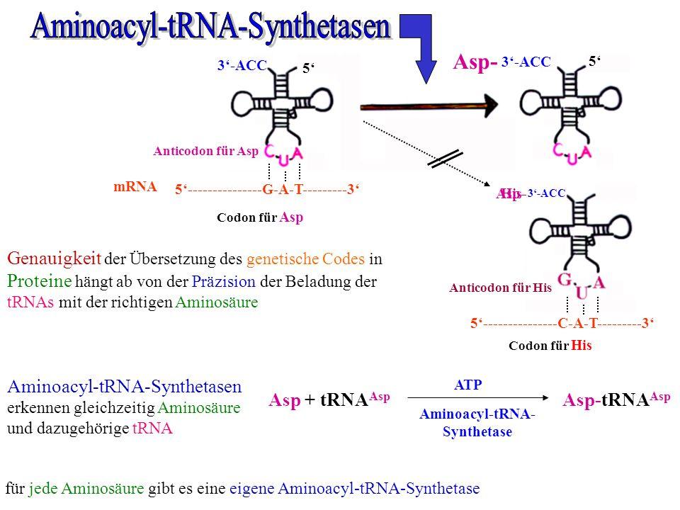 5 3-ACC 5 Anticodon für Asp 5---------------G-A-T---------3 Codon für Asp mRNA Asp + tRNA Asp Asp-tRNA Asp Aminoacyl-tRNA- Synthetase ATP für jede Ami