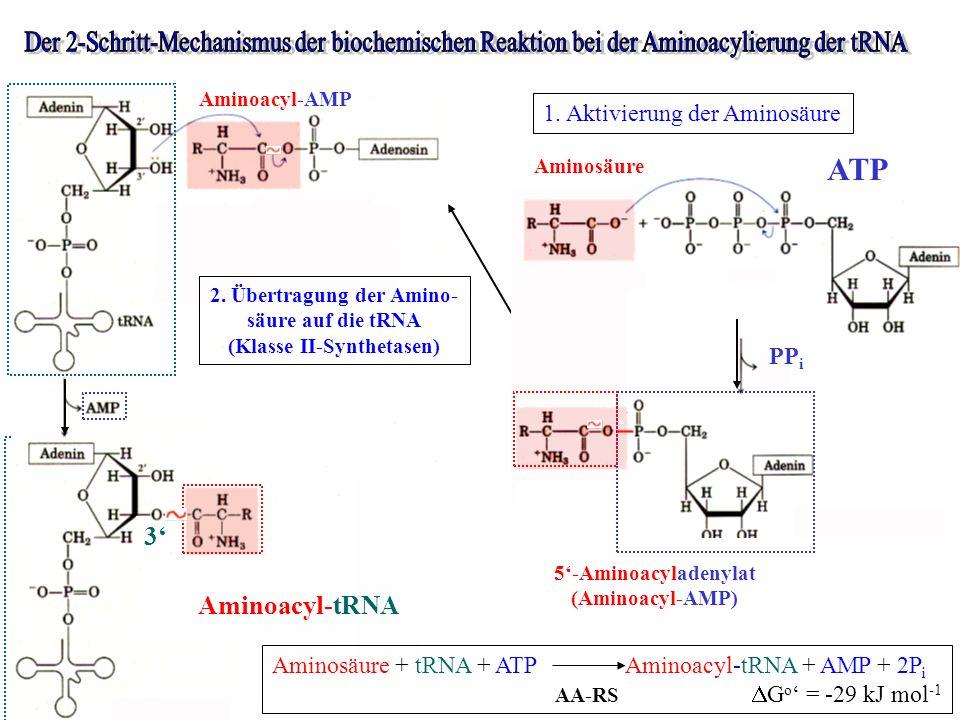 Aminosäure 5-Aminoacyladenylat (Aminoacyl-AMP) ATP PP i 1. Aktivierung der Aminosäure Aminoacyl-AMP Aminoacyl-tRNA 2. Übertragung der Amino- säure auf