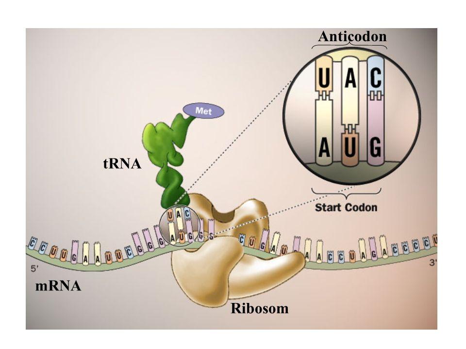 Ribosom mRNA tRNA Anticodon