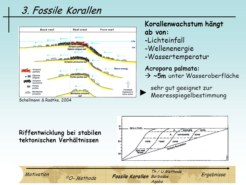 3. Fossile Korallen Korallenwachstum hängt ab von: -Lichteinfall -Wellenenergie -Wassertemperatur Acropora palmata: ~5m unter Wasseroberfläche sehr gu