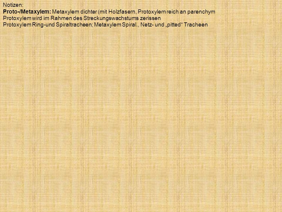Notizen: Proto-/Metaxylem: Metaxylem dichter (mit Holzfasern, Protoxylem reich an parenchym Protoxylem wird im Rahmen des Streckungswachstums zerissen