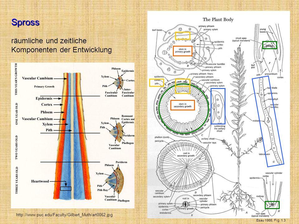 Spross räumliche und zeitliche Komponenten der Entwicklung Esau 1965, Fig. 1.3 http://www.puc.edu/Faculty/Gilbert_Muth/art0062.jpg