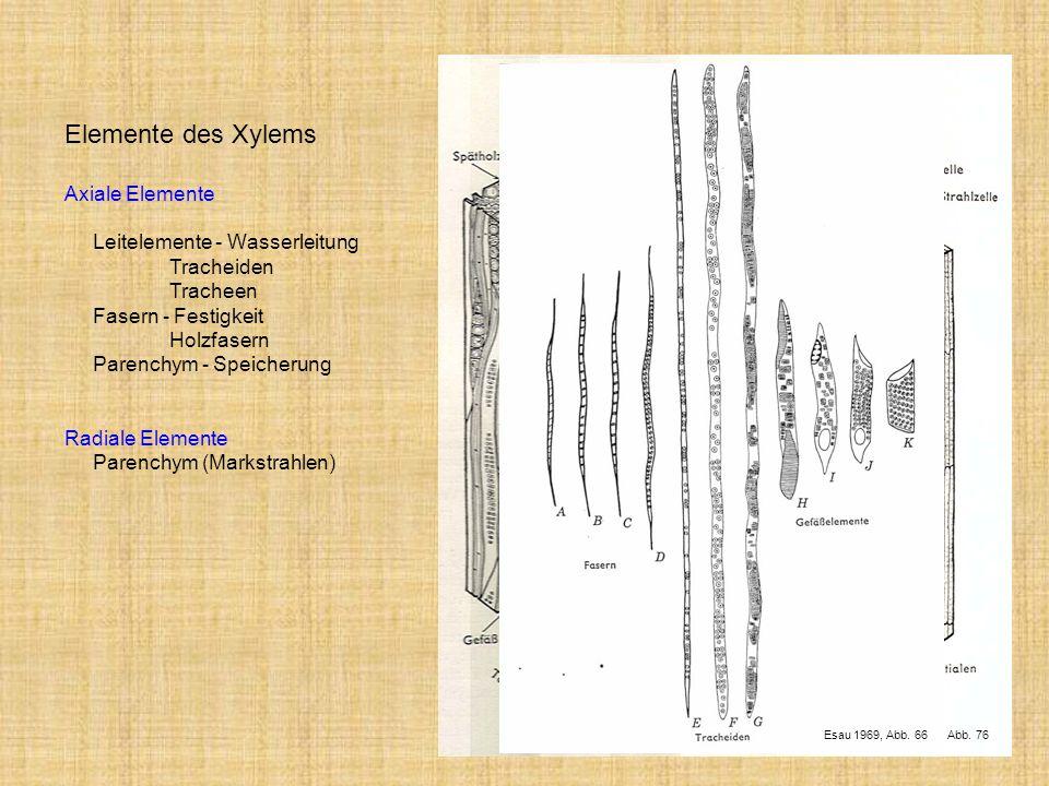 Esau 1969, Abb. 76 Esau 1969, Abb. 66 Elemente des Xylems Axiale Elemente Leitelemente - Wasserleitung Tracheiden Tracheen Fasern - Festigkeit Holzfas