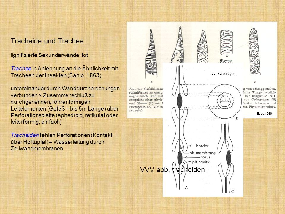 Tracheide und Trachee lignifizierte Sekundärwände, tot Trachee in Anlehnung an die Ähnlichkeit mit Tracheen der Insekten (Sanio, 1863) untereinander d