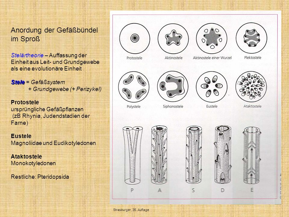Anordung der Gefäßbündel im Sproß Stelärtheorie – Auffassung der Einheit aus Leit- und Grundgewebe als eine evolutionäre Einheit Stele Stele = Gefäßsy
