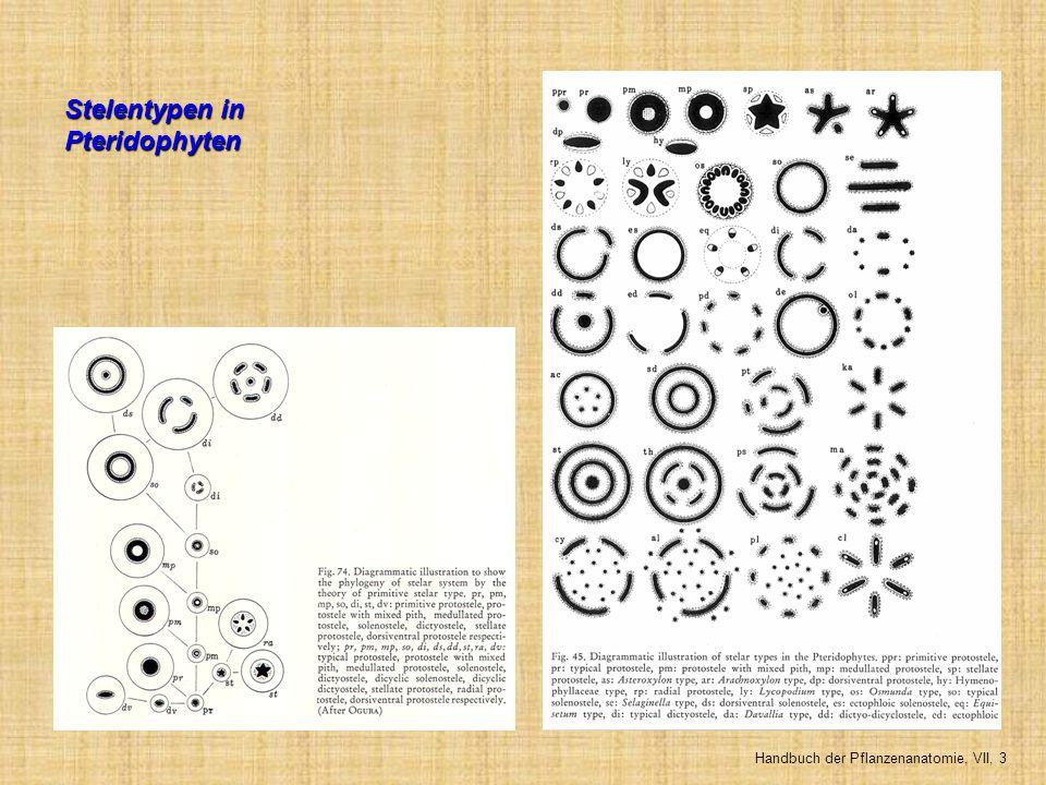 Stelentypen in Pteridophyten Handbuch der Pflanzenanatomie, VII, 3