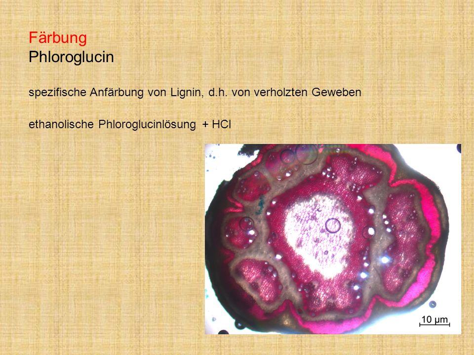 Färbung Phloroglucin spezifische Anfärbung von Lignin, d.h. von verholzten Geweben ethanolische Phloroglucinlösung + HCl