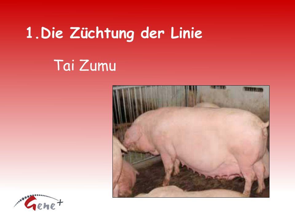 1.Die Züchtung der Linie Tai Zumu
