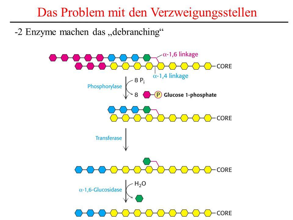 Das Debranching Enzyme -Die Phosphorylase kann nicht -1,6 glycosidsche Bindungen spalten.