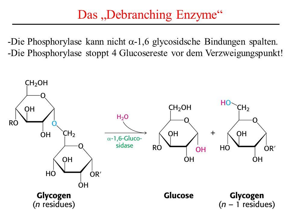 Phosphorylase a in der Leber reguliert den Blutzuckerspiegel -die Phosphorylase in der Leber stellt bei bedarf Glucose aus dem Glycogenspeicher bereit.
