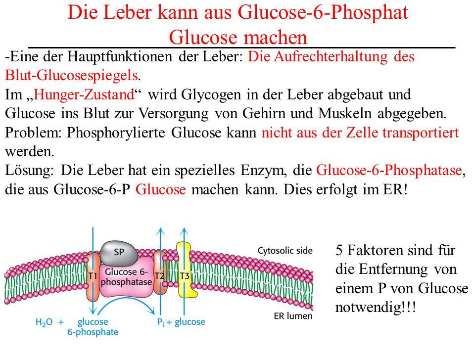 Der Aufbau des Glycogenspeichers Wie üblich: Glycogen-Aufbau und -Abbau sind nicht über die gleichen Reaktionen gesteuert (allgemeines Prinzip, da es so eine größere Kontrollmöglichkeit für die Zelle gibt).