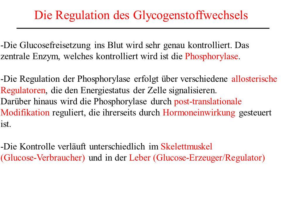 Die Glycogen-Phosphorylase im Skelettmuskel (Muskelphosphorylase) 2 Formen: Phosphorylase a ist an einem Serinrest Phophoryliert.