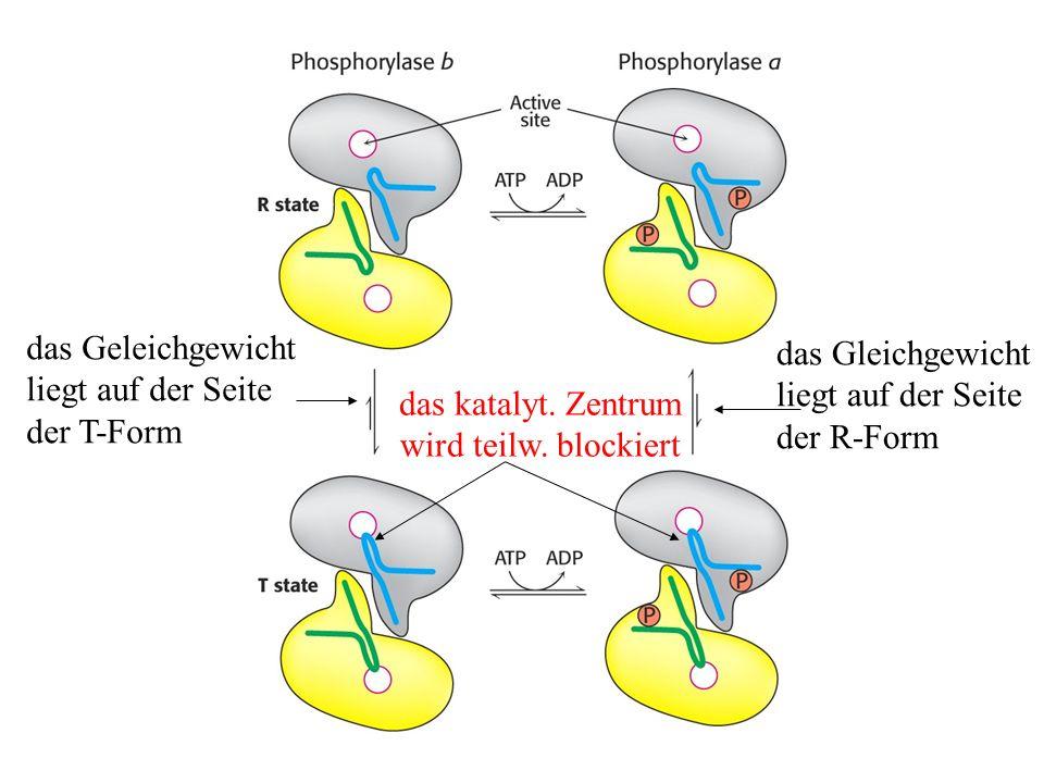 Die Regulation der Phosphorylase durch eine Kinase Phosphorylase bPhosphorylase a Phosphorylase- Kinase ATP ADP (vorw.