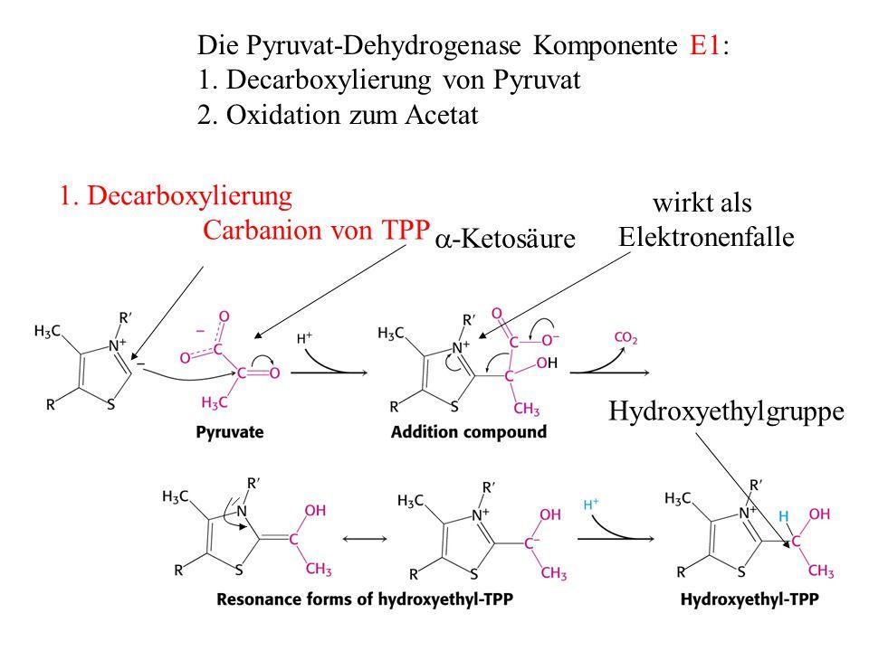 Carbanion von TPP -Ketosäure wirkt als Elektronenfalle Hydroxyethylgruppe Die Pyruvat-Dehydrogenase Komponente E1: 1. Decarboxylierung von Pyruvat 2.