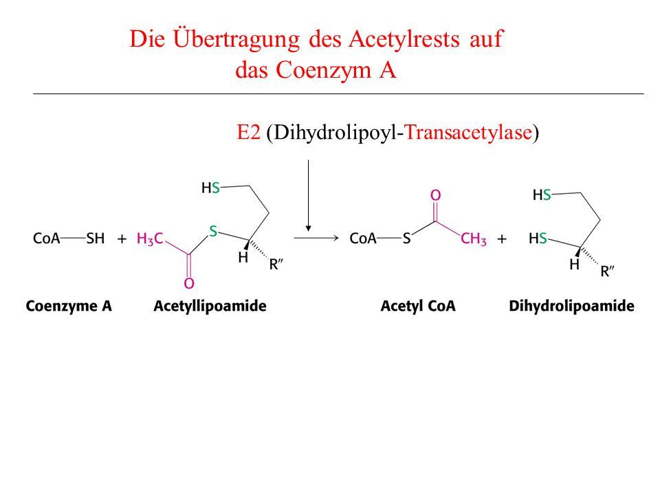 Die Übertragung des Acetylrests auf das Coenzym A E2 (Dihydrolipoyl-Transacetylase)