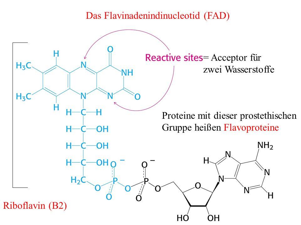 Das Flavinadenindinucleotid (FAD) = Acceptor für zwei Wasserstoffe Proteine mit dieser prostethischen Gruppe heißen Flavoproteine Riboflavin (B2)