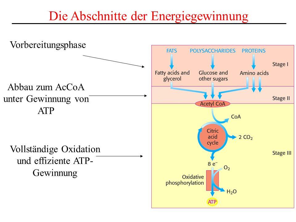 Vorbereitungsphase Die Abschnitte der Energiegewinnung Abbau zum AcCoA unter Gewinnung von ATP Vollständige Oxidation und effiziente ATP- Gewinnung