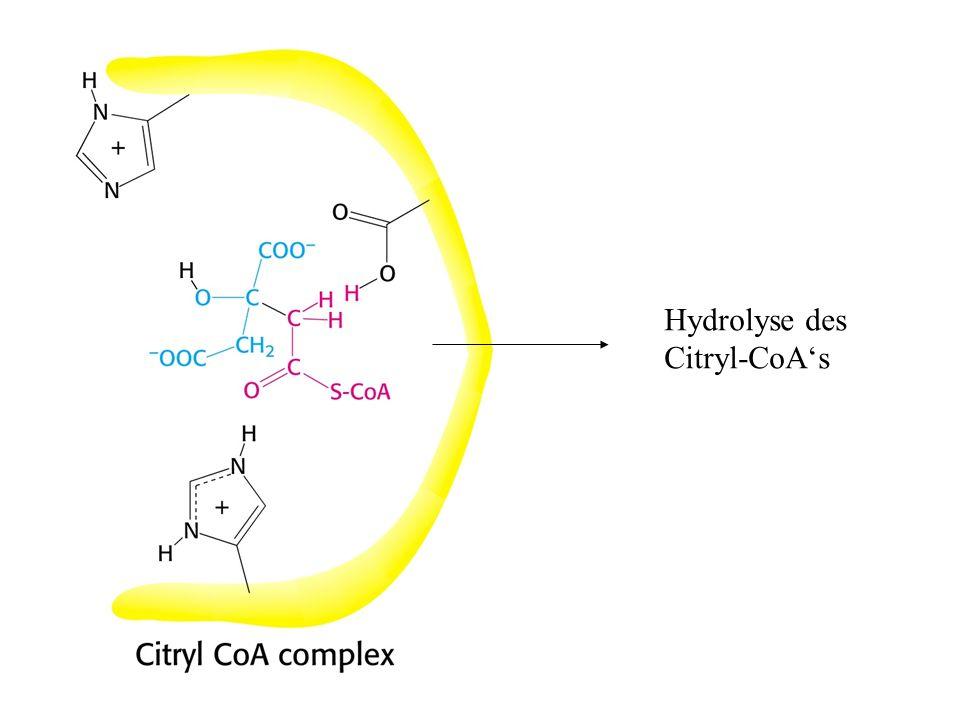 Hydrolyse des Citryl-CoAs