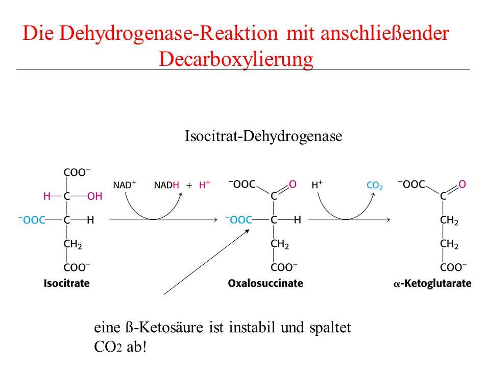 Die Dehydrogenase-Reaktion mit anschließender Decarboxylierung Isocitrat-Dehydrogenase eine ß-Ketosäure ist instabil und spaltet CO 2 ab!