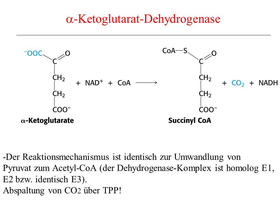 -Ketoglutarat-Dehydrogenase -Der Reaktionsmechanismus ist identisch zur Umwandlung von Pyruvat zum Acetyl-CoA (der Dehydrogenase-Komplex ist homolog E