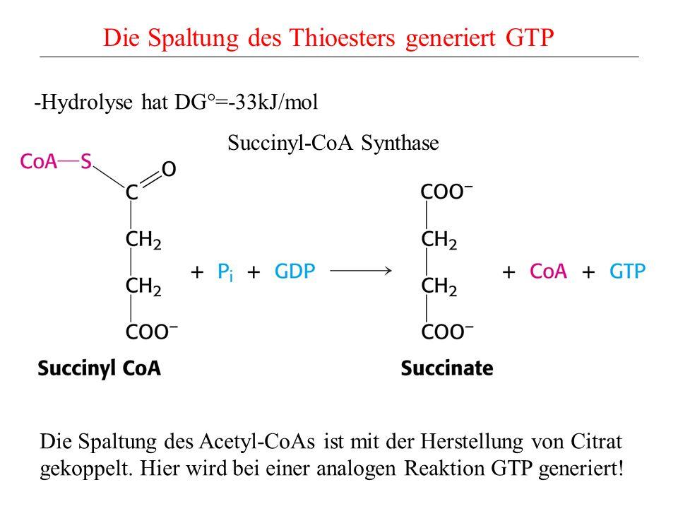 Die Spaltung des Thioesters generiert GTP -Hydrolyse hat DG°=-33kJ/mol Succinyl-CoA Synthase Die Spaltung des Acetyl-CoAs ist mit der Herstellung von