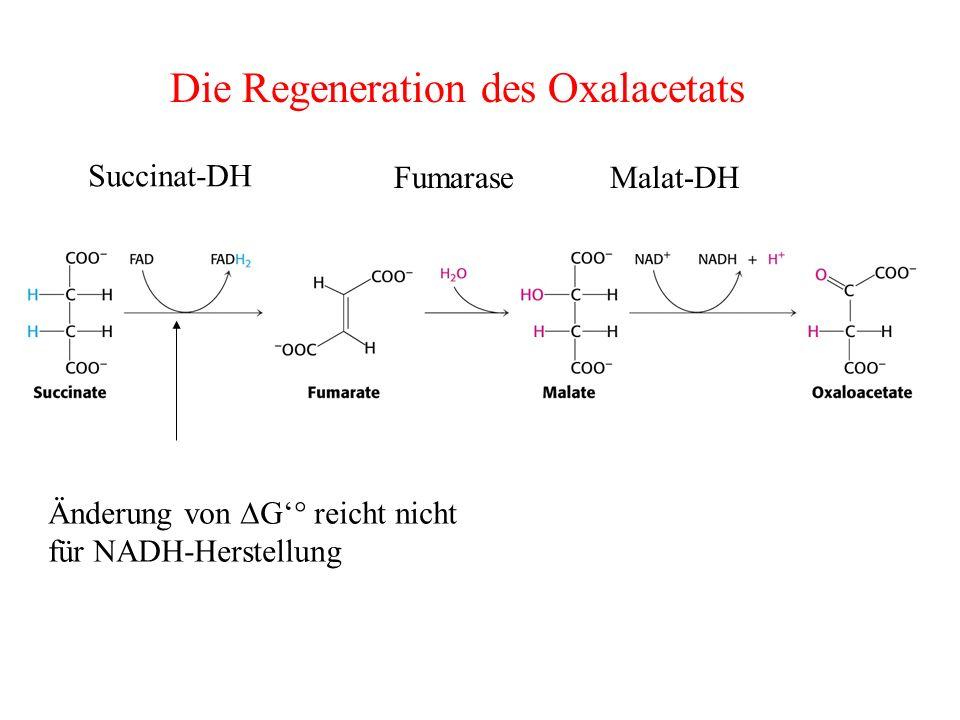 Die Regeneration des Oxalacetats Änderung von G° reicht nicht für NADH-Herstellung Succinat-DH Fumarase Malat-DH