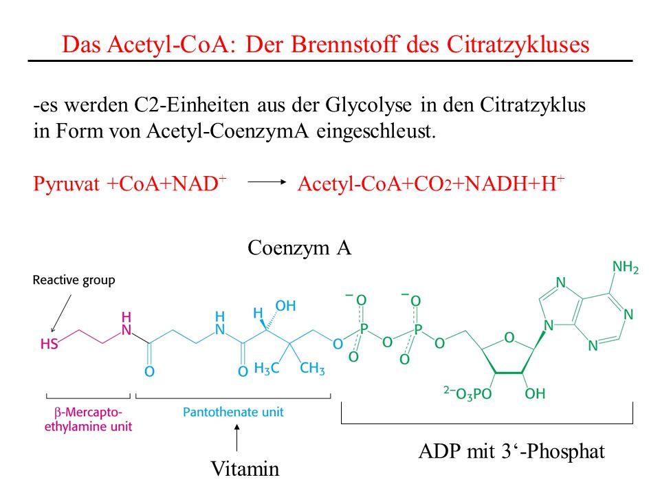 Das Acetyl-CoA: Der Brennstoff des Citratzykluses -es werden C2-Einheiten aus der Glycolyse in den Citratzyklus in Form von Acetyl-CoenzymA eingeschle