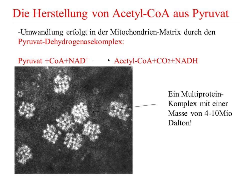 Die Herstellung von Acetyl-CoA aus Pyruvat -Umwandlung erfolgt in der Mitochondrien-Matrix durch den Pyruvat-Dehydrogenasekomplex: Pyruvat +CoA+NAD +