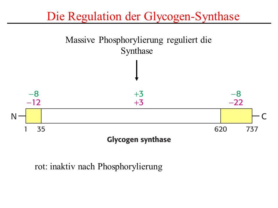 Die Regulation der Glycogen-Synthase Massive Phosphorylierung reguliert die Synthase rot: inaktiv nach Phosphorylierung