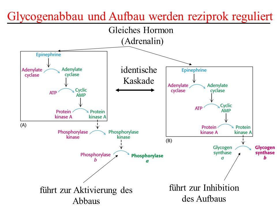 Glycogenabbau und Aufbau werden reziprok reguliert identische Kaskade führt zur Inhibition des Aufbaus führt zur Aktivierung des Abbaus Gleiches Hormo