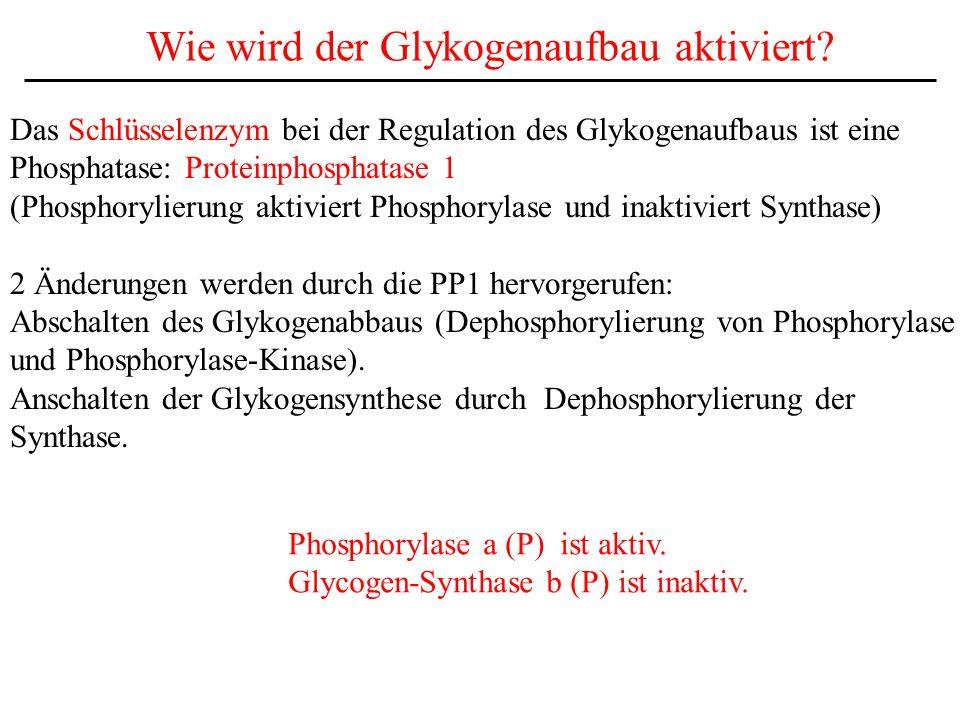 Wie wird der Glykogenaufbau aktiviert? Das Schlüsselenzym bei der Regulation des Glykogenaufbaus ist eine Phosphatase: Proteinphosphatase 1 (Phosphory
