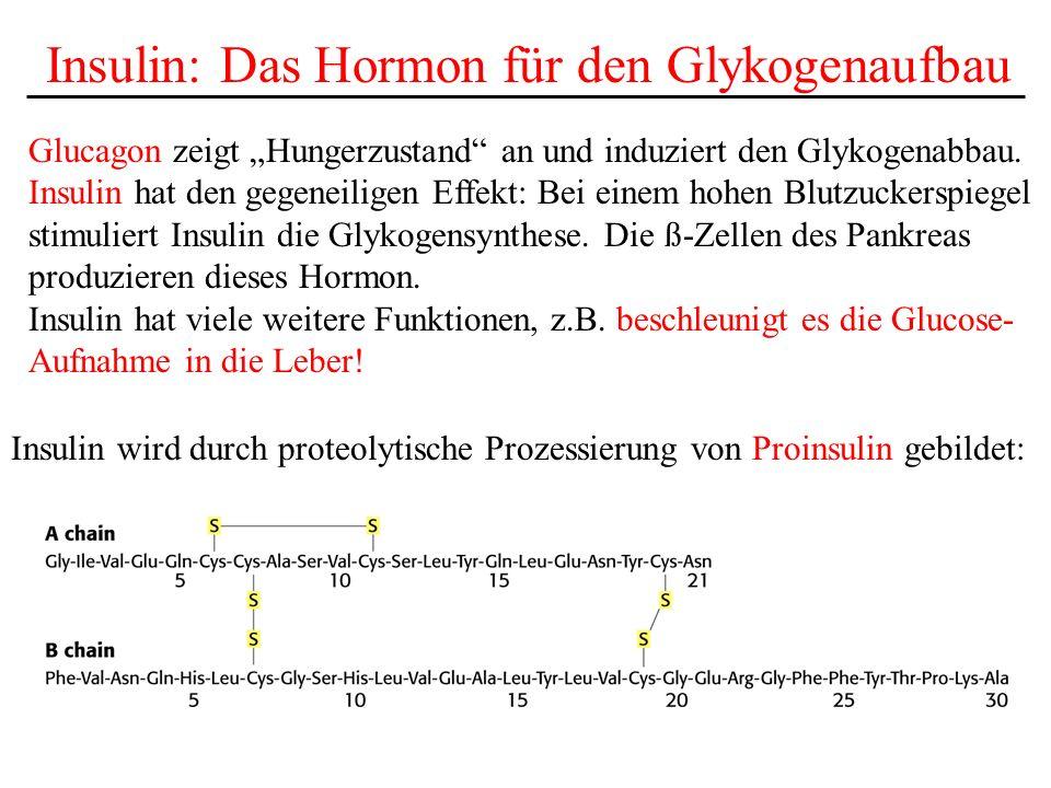 Insulin: Das Hormon für den Glykogenaufbau Glucagon zeigt Hungerzustand an und induziert den Glykogenabbau. Insulin hat den gegeneiligen Effekt: Bei e