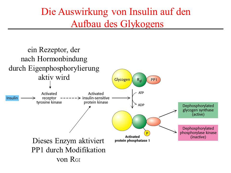Die Auswirkung von Insulin auf den Aufbau des Glykogens ein Rezeptor, der nach Hormonbindung durch Eigenphosphorylierung aktiv wird Dieses Enzym aktiv