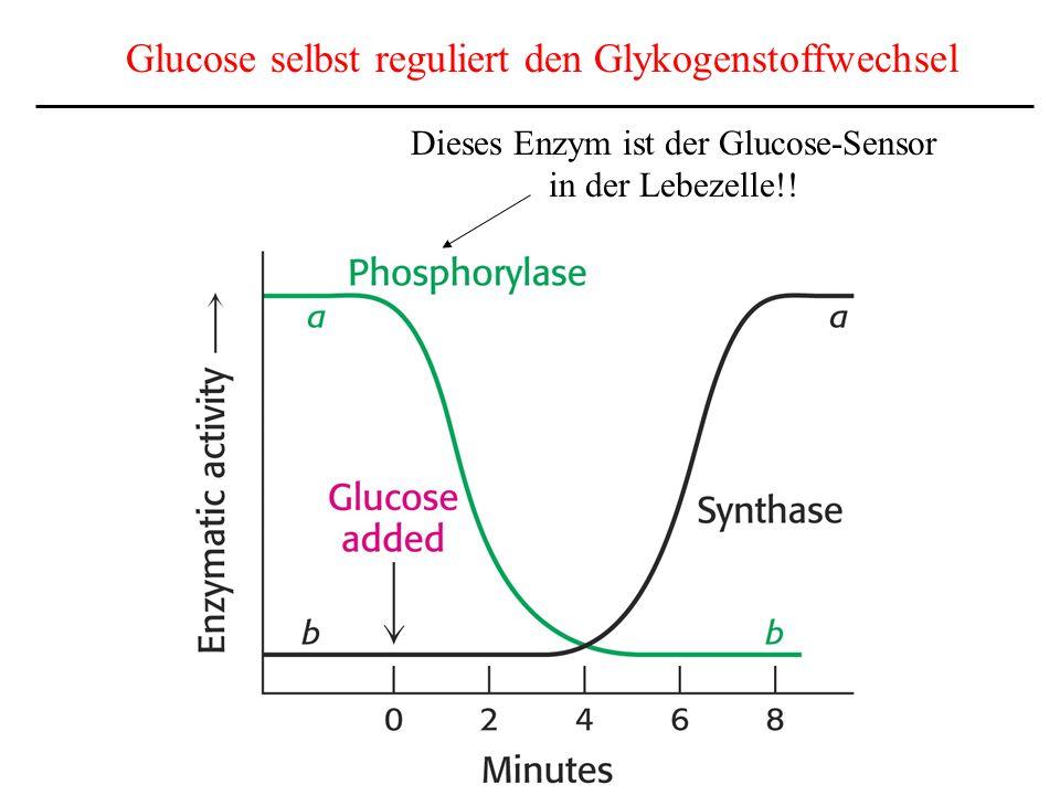 Glucose selbst reguliert den Glykogenstoffwechsel Dieses Enzym ist der Glucose-Sensor in der Lebezelle!!