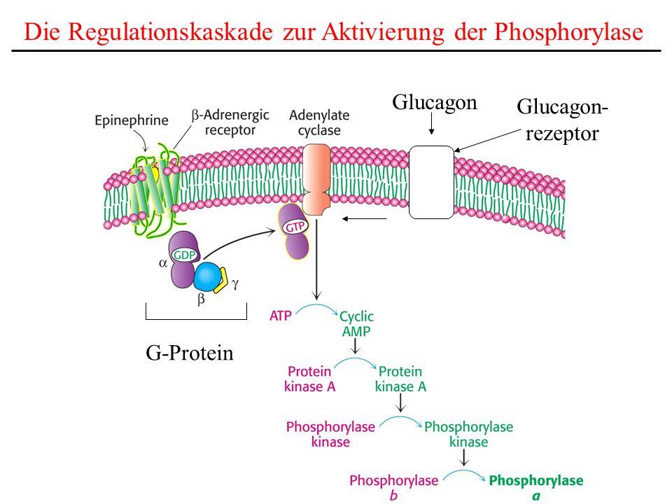 Viele biochemische Prozesse werden durch ähnliche Signalkaskaden aktiviert: Bsp.: Die Lipolyse Adrenalin, Glucagon, ACTH etc.