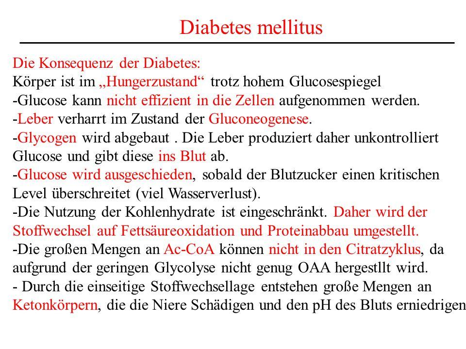 Diabetes mellitus Die Konsequenz der Diabetes: Körper ist im Hungerzustand trotz hohem Glucosespiegel -Glucose kann nicht effizient in die Zellen aufg