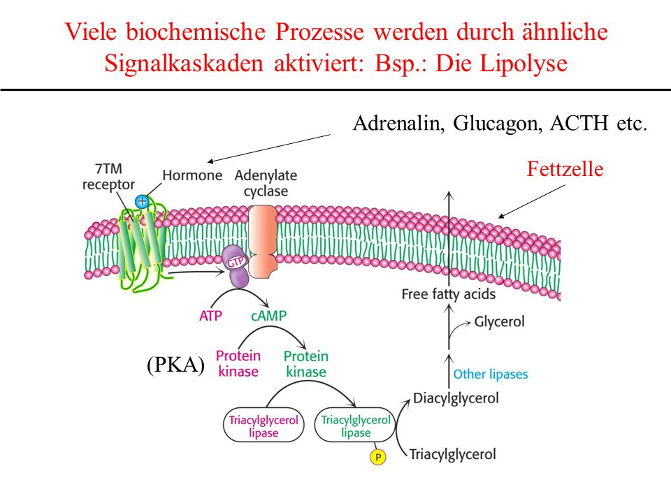 Viele biochemische Prozesse werden durch ähnliche Signalkaskaden aktiviert: Bsp.: Die Lipolyse Adrenalin, Glucagon, ACTH etc. Fettzelle (PKA)