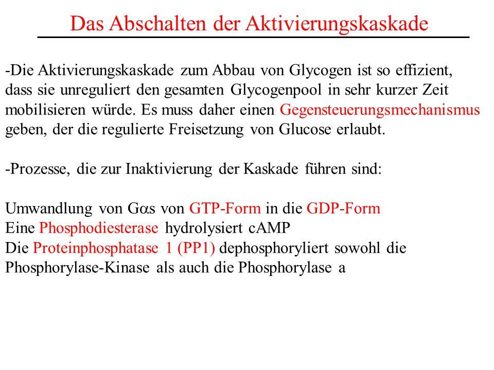 Das Abschalten der Aktivierungskaskade -Die Aktivierungskaskade zum Abbau von Glycogen ist so effizient, dass sie unreguliert den gesamten Glycogenpoo