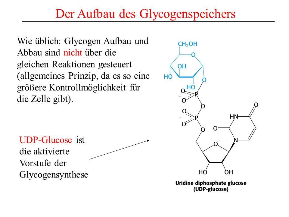 Der Aufbau des Glycogenspeichers Wie üblich: Glycogen Aufbau und Abbau sind nicht über die gleichen Reaktionen gesteuert (allgemeines Prinzip, da es s