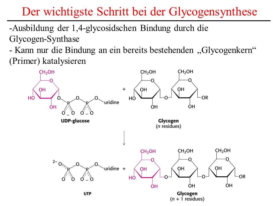 Der wichtigste Schritt bei der Glycogensynthese -Ausbildung der 1,4-glycosidschen Bindung durch die Glycogen-Synthase - Kann nur die Bindung an ein be