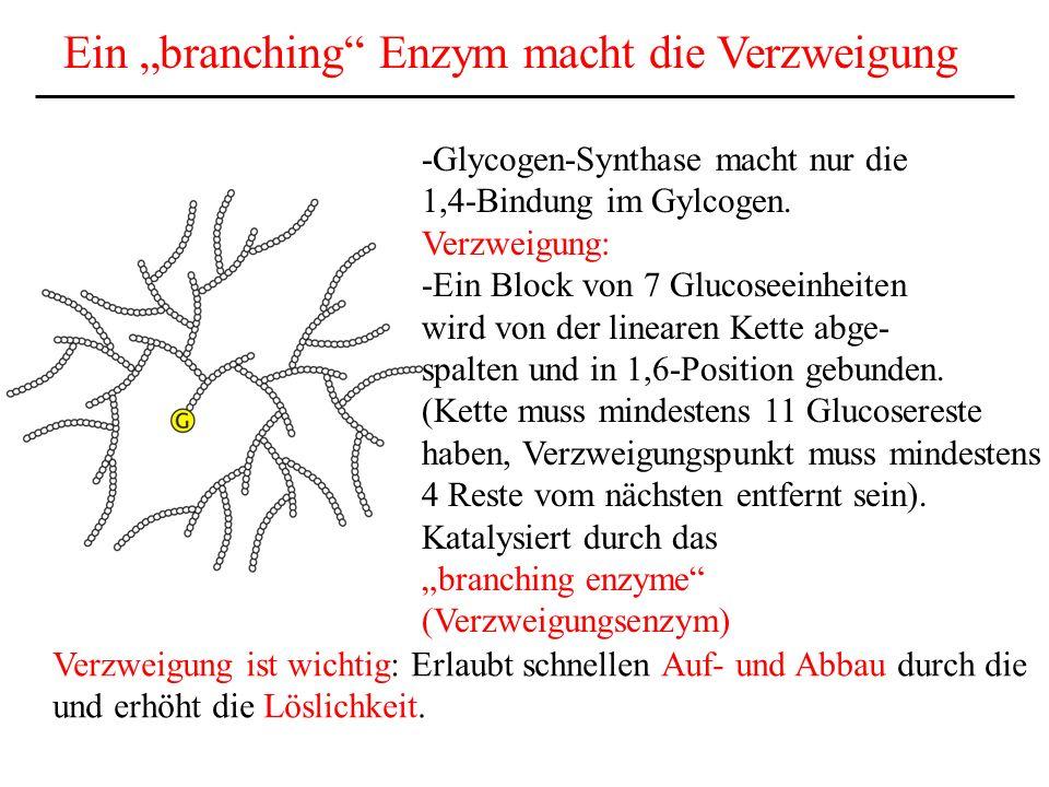 Ein branching Enzym macht die Verzweigung -Glycogen-Synthase macht nur die 1,4-Bindung im Gylcogen. Verzweigung: -Ein Block von 7 Glucoseeinheiten wir