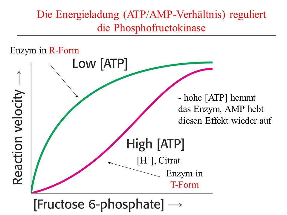 Die Energieladung (ATP/AMP-Verhältnis) reguliert die Phosphofructokinase Enzym in R-Form Enzym in T-Form [H + ], Citrat - hohe [ATP] hemmt das Enzym,