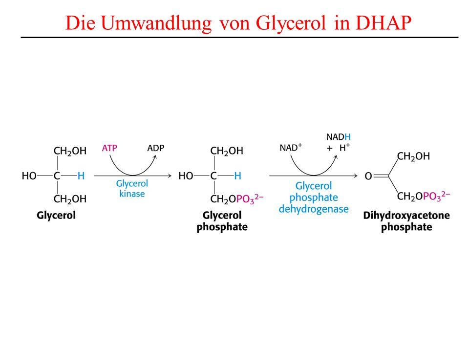 Die Umwandlung von Glycerol in DHAP