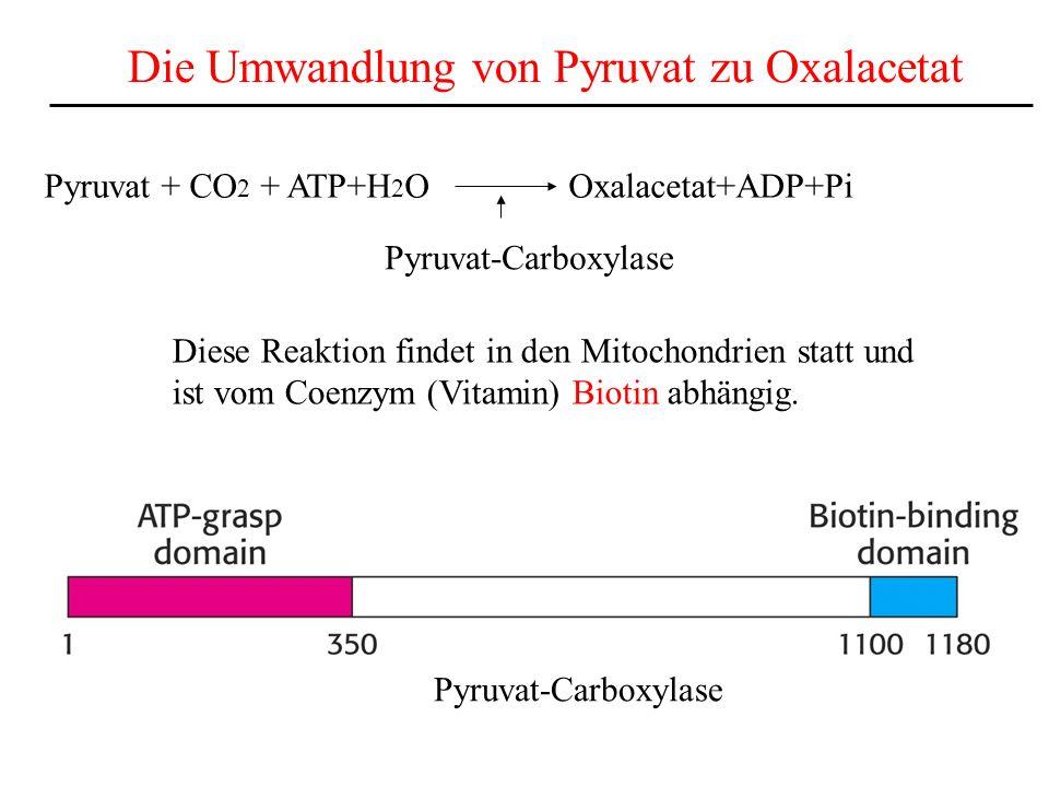Die Umwandlung von Pyruvat zu Oxalacetat Pyruvat + CO 2 + ATP+H 2 OOxalacetat+ADP+Pi Pyruvat-Carboxylase Diese Reaktion findet in den Mitochondrien st