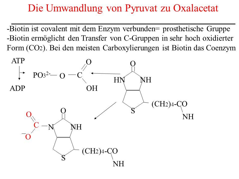 Die Umwandlung von Pyruvat zu Oxalacetat -Biotin ist covalent mit dem Enzym verbunden= prosthetische Gruppe -Biotin ermöglicht den Transfer von C-Grup