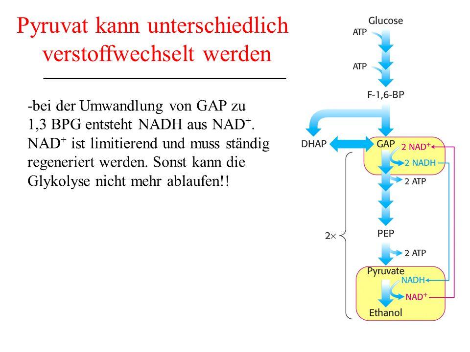 Pyruvat kann unterschiedlich verstoffwechselt werden -bei der Umwandlung von GAP zu 1,3 BPG entsteht NADH aus NAD +. NAD + ist limitierend und muss st