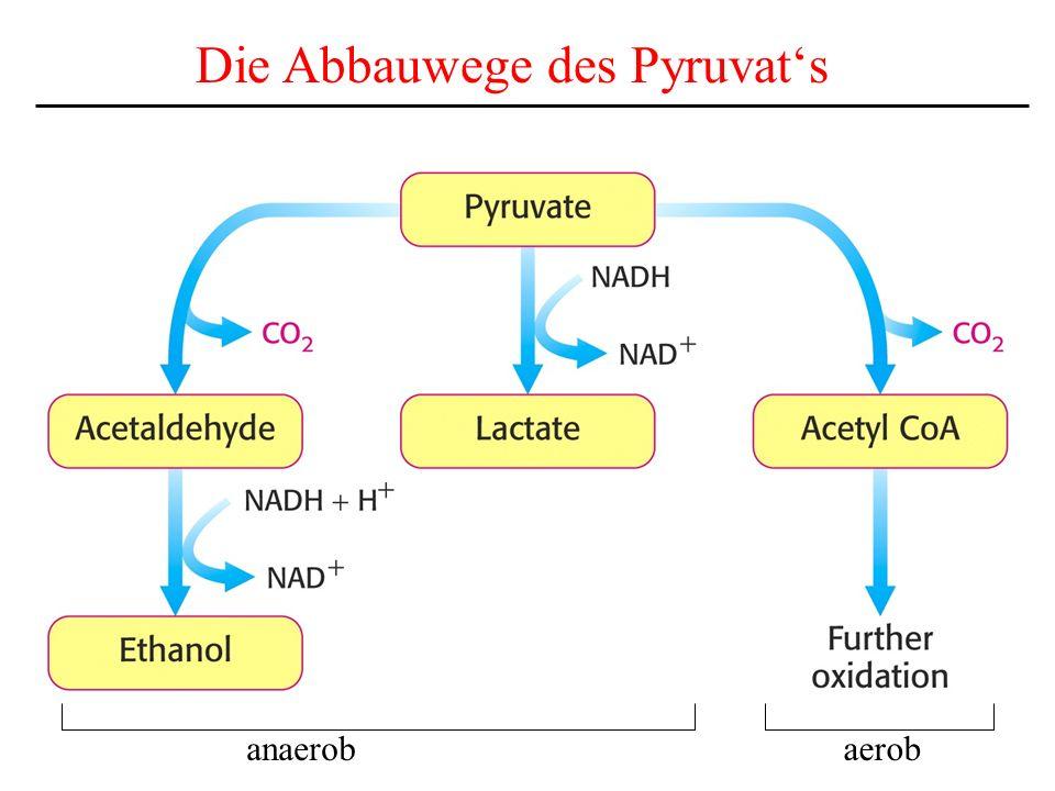 Die Abbauwege des Pyruvats anaerobaerob