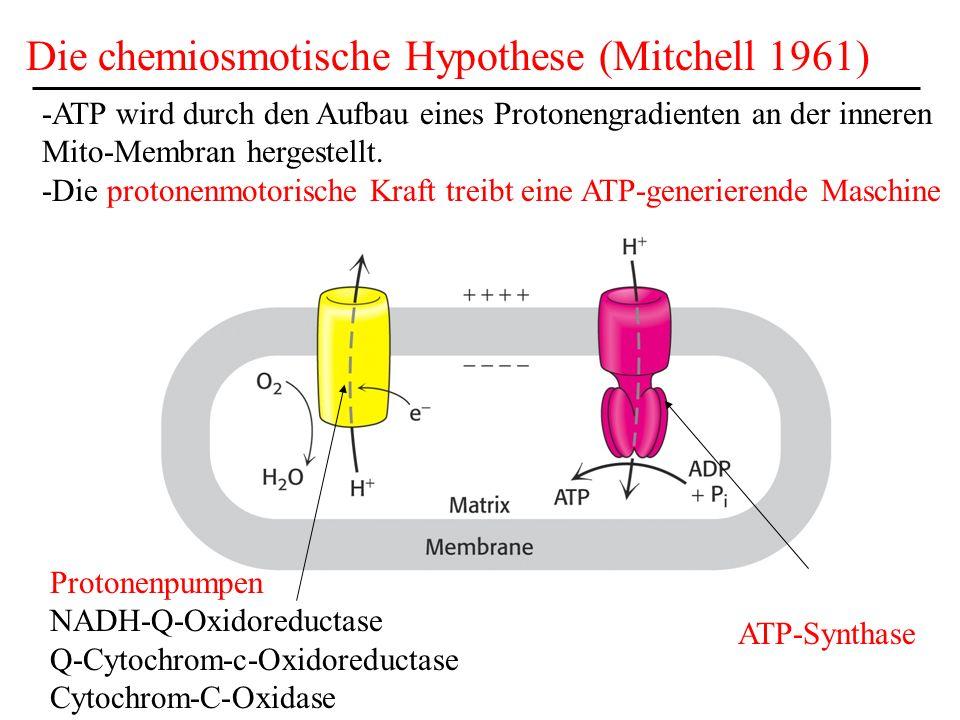Die chemiosmotische Hypothese (Mitchell 1961) ATP-Synthase Protonenpumpen NADH-Q-Oxidoreductase Q-Cytochrom-c-Oxidoreductase Cytochrom-C-Oxidase -ATP