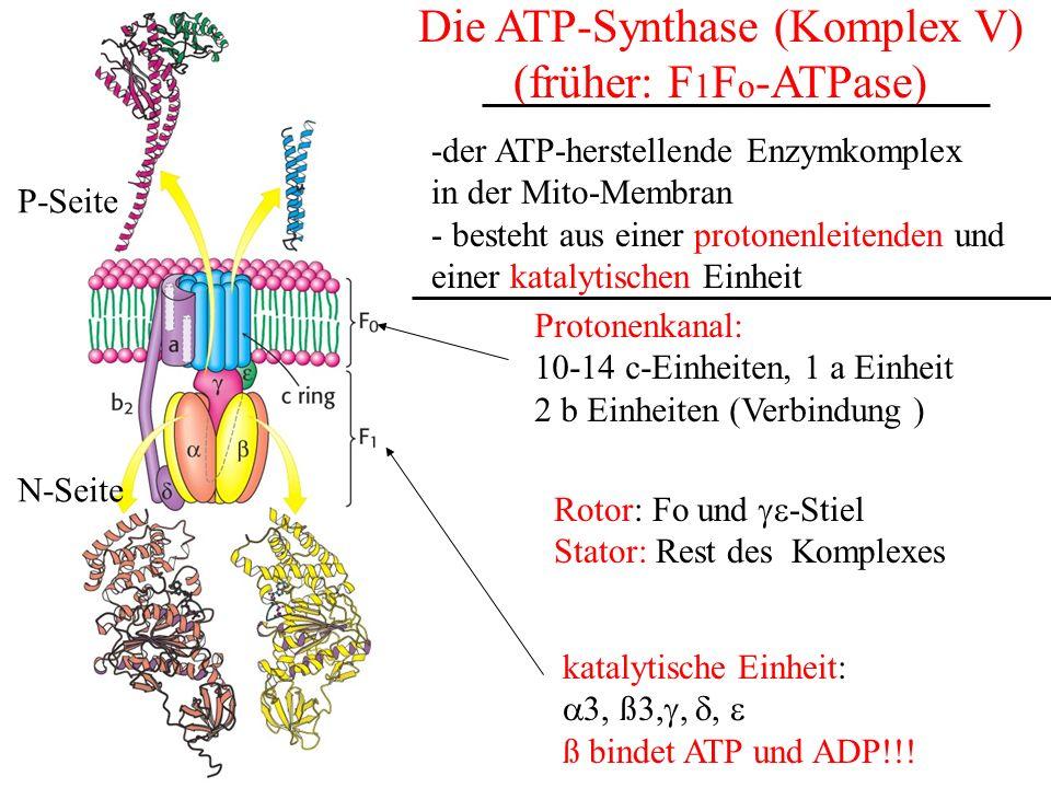 Die ATP-Synthase (Komplex V) (früher: F 1 F o -ATPase) -der ATP-herstellende Enzymkomplex in der Mito-Membran - besteht aus einer protonenleitenden un