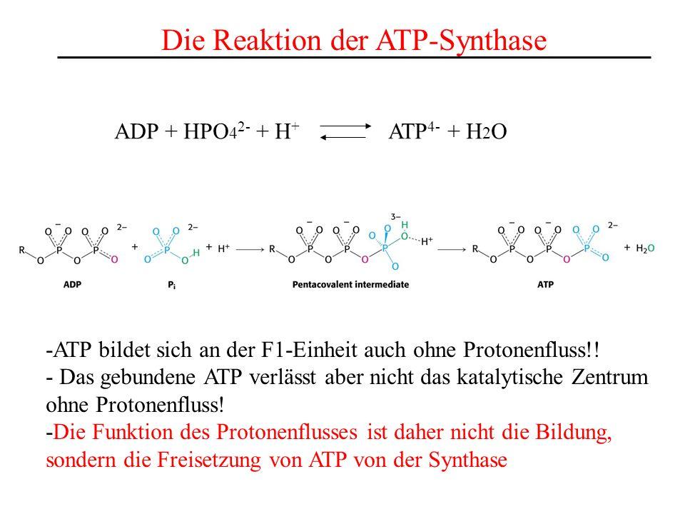 Die Reaktion der ATP-Synthase ADP + HPO 4 2- + H + ATP 4- + H 2 O -ATP bildet sich an der F1-Einheit auch ohne Protonenfluss!! - Das gebundene ATP ver